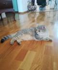 Ищу кота для вязки шиншилла, Тара