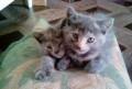 Два котёнка 1.5 месяца. отдам В добрые руки, Тамбов