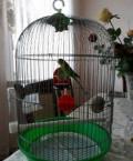 Попугай, Махачкала