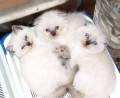 Кошечки вислоушки и страйтики блюпоинт, Симферополь