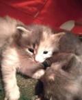 Милые пушистые котята ждут своих хозяев, Рославль