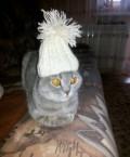 Шотландская вислоухая кошечка, Омск