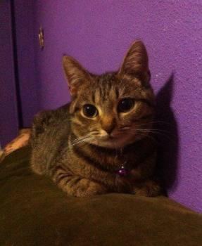 Отдам кошку Алису в добрые руки, Кичменгский Городок, цена: не указана