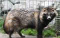 Продам Енотовидную собаку, Острогожск