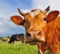 Продам корову в цвете лет, Красные Четаи