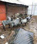 Родительское стадо романовских овец, Чебоксары
