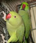 Ожереловые попугаи, Горелое