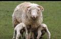 Овцематки, Избербаш