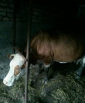 Бык и корова, Моргауши
