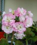 Пеларгонии розебудные, Ханты-Мансийск