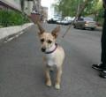 Маленькая милая собачка Жаклин, Нижний Тагил