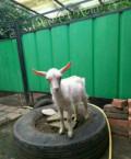 Продается молочная коза, Зааненской породы, Самарское