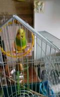Попугай, Кола