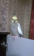 Попугай карела, Чебоксары