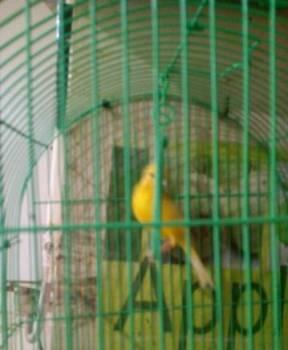 Канарейка певчий кенор, Севастополь, цена: 600р.