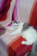 Котик, Шипуново