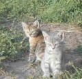 Котята-тигрята в добрые руки, Пенза