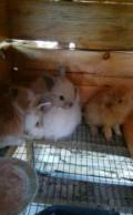 Карликовые декоративные кролики, Буйнакск