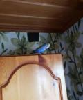 Волнистый попугай, Полярный