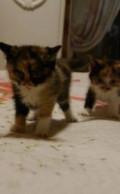 Метисы персидских котят в заботливые добрые руки, Благовещенск
