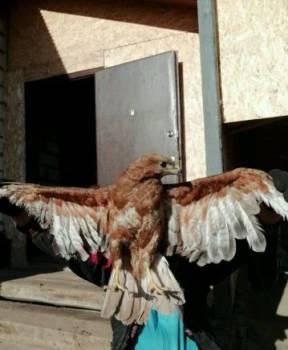 Птица Хищник. Ястреб, Ровеньки, цена: 10 500р.