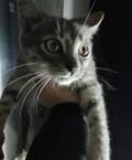 Отдам, продам котёнка (кот) от кошки мышеловки, Смоленск