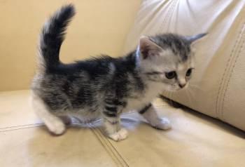 Шотландские котята, Липецк, цена: 2 000р.