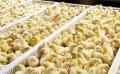 Цыплята подрощенные кобб 500, Алупка