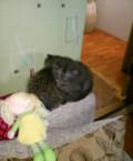 Очаровательные вислоухие британские котята, Кормиловка
