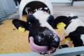 Бычки крс телята до 3.5 месяцев с доставкой на дом, Тацинская