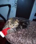 Вислоухий котик, Ржакса