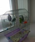 Волнистые попугаи, Грачёвка