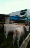 Бычки и телки мясной породы, Кукмор