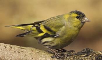 Продам певчих птиц