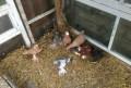 Продаются разных пород голуби, Александровское