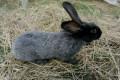 Кролик, Петровское