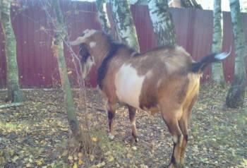 Процентный (87, 5) нубийский козёл
