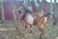 Процентный (87, 5) нубийский козёл, Туношна