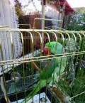 Попугай Александрийский, 3 года, Шигоны