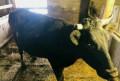 Корова черного цвета, Моргауши