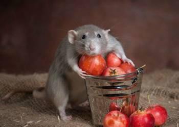 Питомник. Ручные Крыски Крысята. Дамбо крысы
