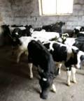 Продаю бычков телят, Кинель