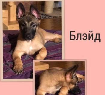 Продаю щенка малинуа, Северодвинск, цена: 30 000р.