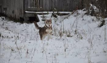 Девочка Аляскинского маламута