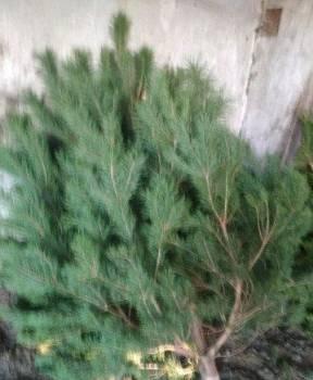 Продам новогодние ёлки сосны ели