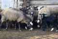 Овцы, Бараны, ягнята Романовской породы, Ильинский