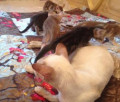 Ориентальная кошка, Краснозаводск