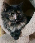 Котенок девочка черепаховая 6мес Чери, Гальчино