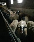 Романовские овцы, суффолк, Липки