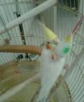 Попугай корелла, Самара